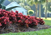 how to mulch with pine straw