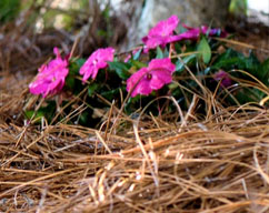 pine straw benefits of using natural garden mulch